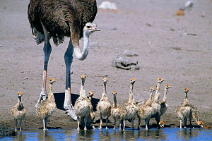 Ostrich and chicks drinking {Struthio camelus} Etosha NP, Namibia - Tony Heald