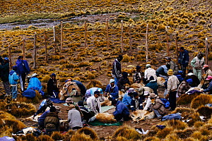 Wild Vicunas' wool being shorn at 5300m {Lama vicugna} SW Bolivia, South America - to benefit Guadalupe community Dept Potosi  -  Pete Oxford