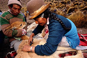 Wild Vicuna wool being shorn at 5300m {Lama vicugna} SW Bolivia, South America - to benefit Guadalupe community Dept Potosi 2001  -  Pete Oxford