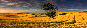 Panoramic view of wheat field near Dorchester, Dorset, UK  -  David Noton