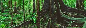 Panoramic view of tree buttress roots in tropical rainforest, Daintree, Queensland, Australia  -  David Noton