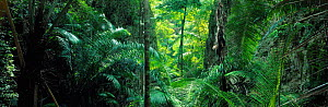 Panoramic of tropical rainforest interior, Khao Sok, Thailand, South East Asia - David Noton