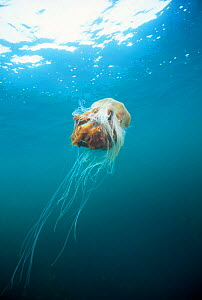 Lion's mane jellyfish in sea {Cyanea capillata} UK. - Dan Burton