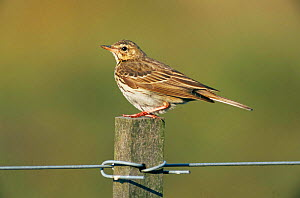 Tree pipit {Anthus trivialis} perching on post, Europe.  -  Flip de Nooyer