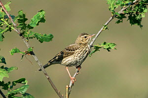 Tree pipit {Anthus trivialis} perching on branch of Oak tree, Europe.  -  Flip de Nooyer