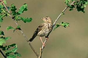 Tree pipit {Anthus trivialis} perching on branch, Europe.  -  Flip de Nooyer