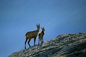 Chamois mother and young {Rupicapra rupicapra} Gran Paradiso National Paark, Italy, Europe  -  Ingo Arndt