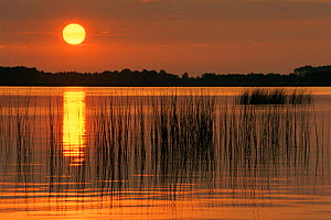 Sunset over reeds in water, The Netherlands  -  Flip de Nooyer