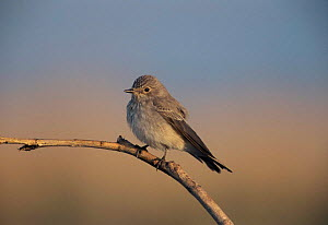 Spotted flycatcher {Muscicapa striata} UK - STEVE KNELL