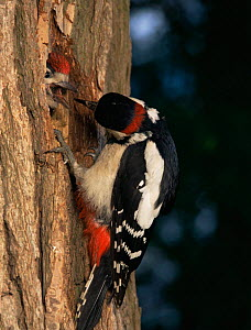 Great spotted woodpecker feeds chick at nest hole {Dendrocopus major} UK  -  Jim Hallett