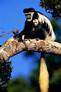 Black and white colobus monkey holding white baby {Colobus guereza} in tree, Mount Kenya East Africa  -  Peter Blackwell