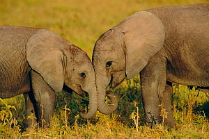 Two young African elephants {Loxodonta africana} Amboseli NP, Kenya  -  Peter Blackwell