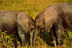Two young African elephants at play {Loxodonta africana} Amboseli NP, Kenya, East Africa - Peter Blackwell