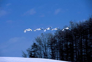 Japanese cranes flying past woodland {Grus japonensis} Tsurui, Japan - David Pike