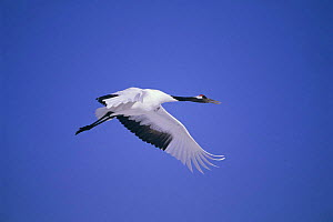 Japanese crane in flight {Grus japonensis} Tsurui Mara, Japan - David Pike
