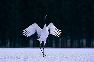 Japanese crane displaying {Grus japonensis} Akan, Japan  -  David Pike