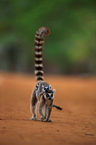 Ring tailed lemur carrying baby {Lemur catta} Berenty Reserve, Southern Madagascar - Nick Garbutt