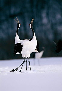 Japanese cranes courtship dance {Grus japonensis} Akan, Japan  -  David Pike