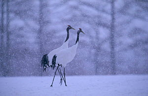 Japanese cranes in snow storm {Grus japonensis} Tsurui Mura, Japan - David Pike