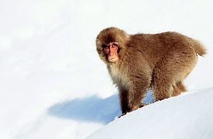 Japanese macaque in snow {Macaca fuscata} Jigokudani, Japan  -  David Pike
