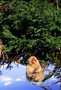 Japanese macaque {Macaca fuscata} sitting in conifer tree  Jigokudani, Japan  -  David Pike