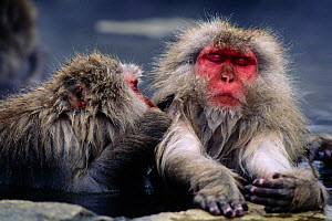 Japanese macaques warming up and grooming in hot pools {Macaca fuscata} Jigokudani, Japan  -  David Pike