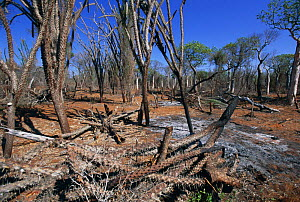 Slash and burn forest clearance, Spiny Forest, Ifaty South West Madagascar  -  Nick Garbutt