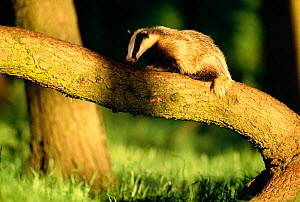 Badger foraging on fallen log {Meles meles} Derbyshire, UK  -  Andrew Parkinson