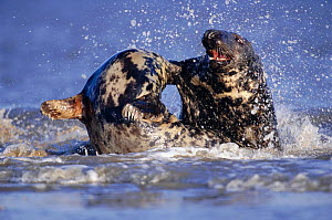 Grey seal female (left) rejects male's attempt to mate (Halichoerus grypus) Lincolnshire, UK  -  Andrew Parkinson