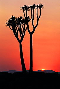 Quiver tree {Aloe dichotoma} at dawn with sun rising Naukluft NP, Namibia - Andrew Parkinson