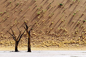 Sand dunes with shadows and dead Acacia tree Dead Vlei, Sossusvlei, Namibia  -  Andrew Parkinson