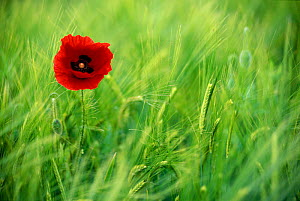 Common poppy flowering {Papaver rhoeas} in Barley field Derbyshire, UK - Andrew Parkinson