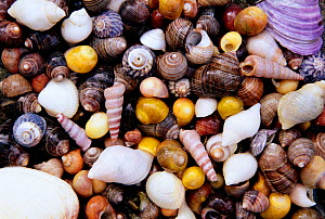 Assorted seashells, Isle of Mull, Scotland, UK  -  Andrew Parkinson