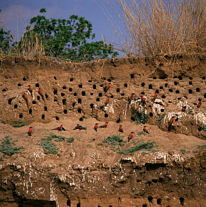 Carmine bee-eaters and nests in bank {Merops nubicus} Zambia  -  Michael W. Richards