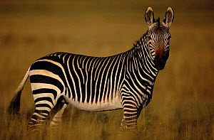 Cape mountain zebra portrait {Equus zebra zebra} South Africa  -  John Cancalosi
