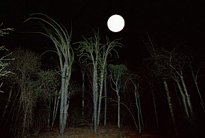 Moon rise over Spiny Forest, Andohahela, Southern Madagascar - Nick Garbutt
