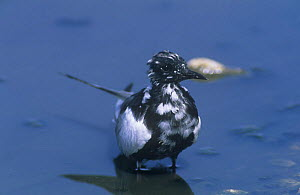 White winged black tern {Chlidonias leucoptera} at water, Sohar, Oman, Middle East, April  -  Hanne & Jens Eriksen