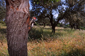 Middle spotted woodpecker at nest {Dendrocopos medius} Island of Lesvos, Greece.  -  George McCarthy