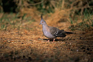 Crested pigeon {Ocyphaps lophotes} on ground, Australia.  -  Dave Watts