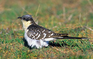 Great spotted cuckoo {Clamator glandarius} perched on ground, spring, Spain, Europe  -  Chris Gomersall