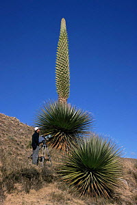 Puya raimondii in flower with camerman to give scale, Huascaran NP, Andes, Peru  -  JIM CLARE