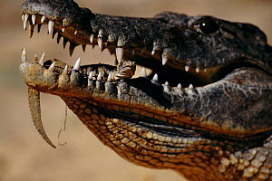 Newly hatched Nile crocodile held in parent's mouth {Crocodylus niloticus} Kenya - Anup Shah