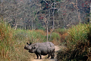 Indian rhinoceros mother and young on road {Rhinoceros unicornis} Kaziranga, India - Anup Shah