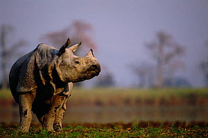Indian rhinoceros portrait {Rhinoceros unicornis} Kaziranga, India - Anup Shah