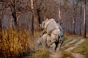 Indian rhinoceros mating {Rhinoceros unicornis} Kaziranga, India - Anup Shah