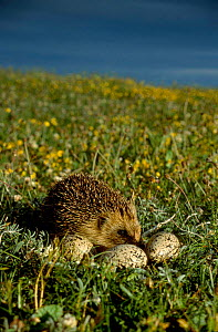 Hedgehog (Erinaceus europaeus) eating Oystercatcher eggs on South Uist, Scotland. Introduced to the island in 1974, the hedgehog population has increased dramatically and is causing populations of nes...  -  Martin H Smith
