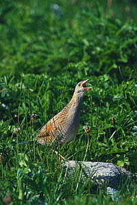 Corncrake calling, machair, South Uist, Scotland (Crex crex) Endangered species - Martin H Smith