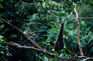 White handed gibbon hanging from branch {Hylobates lar} C  -  Anup Shah