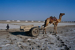 Camel with cart at salt extraction pans, Rann of Kutch, Gujarat, India  -  Anup Shah