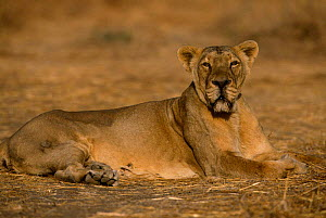 Asiatic lion female resting lieing down {Panthera leo persica} Gir NP, Gujarat, India  -  Anup Shah